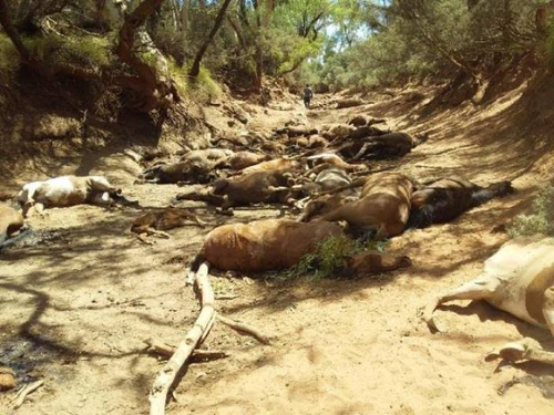 A dozen brumbies were discovered dead in central Australia from suspected dehydration.