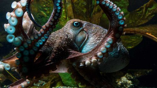 Inky the octopus escaped his tank and fled from New Zealand Aquarium.