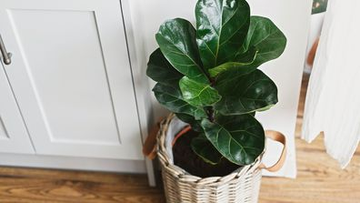 Big fiddle leaf fig tree in stylish modern pot in a home