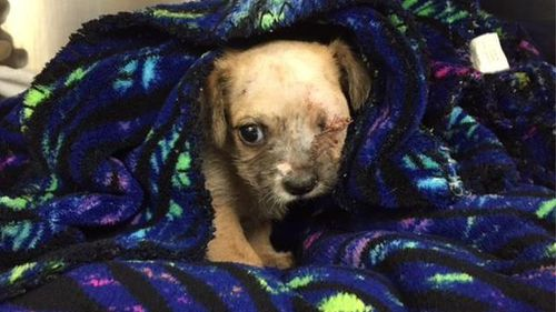 Bear lost an eye when he was attacked by a bigger dog. (Image: Animal Rescue Foundation)