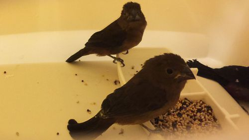 The finches found at the airport were believed bound for singing contests.