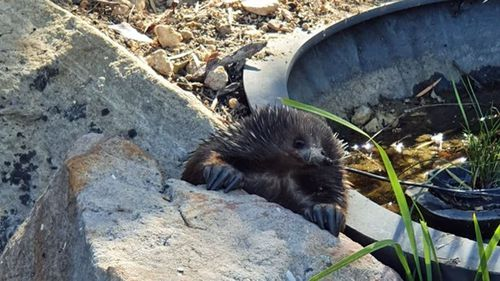 A thirsty echidna sneaks a drink in a pond.