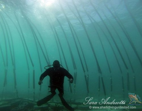 A diver explores the Sharksafe Barrier at Shark Alley in Gansbaai, South Africa. The floating pipes, fitted with magnets, resemble kelp, which sharks try to avoid. (Photo courtesy, Sara Andreotti / Sharksafe Barrier)