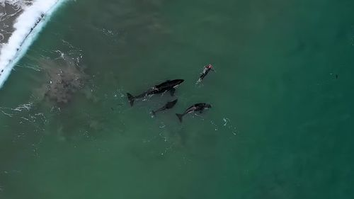 Three orca surround the swimmer