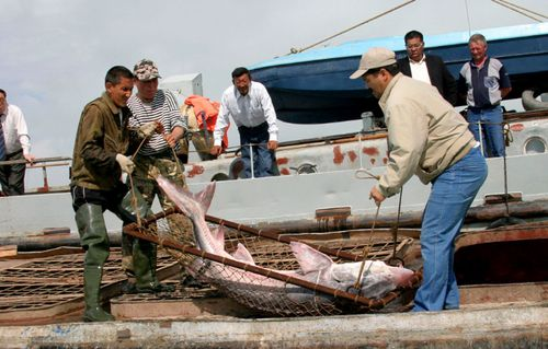 A sturgeon is caught on the Caspian Sea.