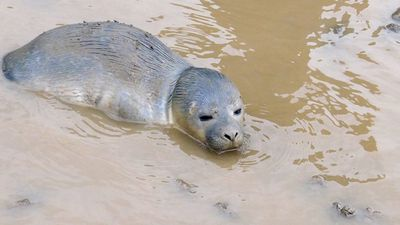 She was taken in by the Natureland Seal Sanctuary who nurtured her back to health and helped her to gain weight. (Natureland Seal Sanctuary)