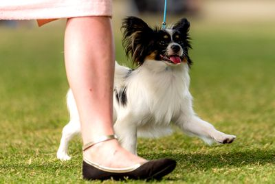 Best Puppy in Group (Toy): Papillon