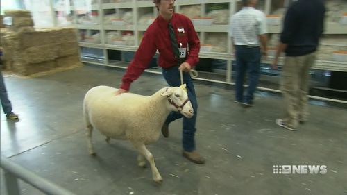 Prized farm animals were also on display. (9NEWS)