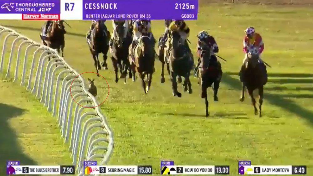 Kangaroo invades race at Cessnock