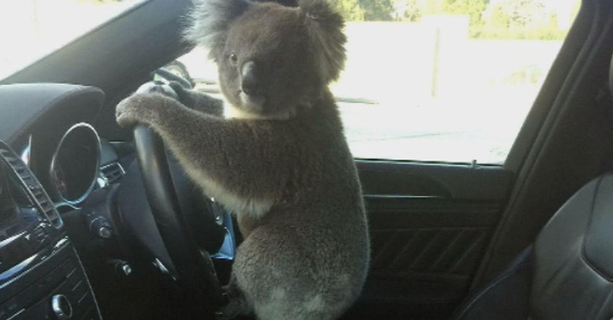 Koala causes peak hour chaos at Adelaide freeway – 9News
