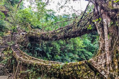 <strong>The Living Bridges, India</strong>