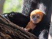 Rare 'orange' monkey born at Sydney zoo