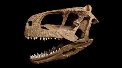 A reconstruction of the dinosaur's skull.