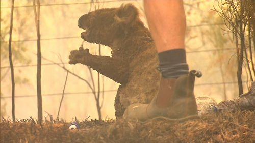 Hundreds of koalas have been killed in the devastating bushfires and Lewis' chances of survival are 50-50 at the moment.