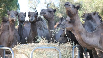 Good Earth Dairy camels