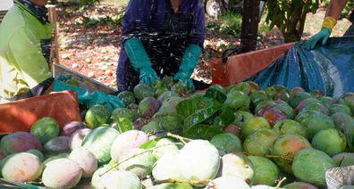 Mango washing station at harvest