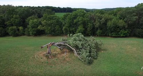 An aerial view of the white oak, its trunk snapped in half after a 2016 storm knocked it over.