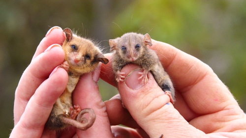 A Western pygmy possum (left), and a Little pygmy possum (right) were found during the survey.