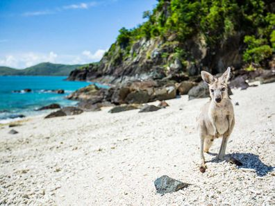 The island is home to a cute sub-species of 'roo, called the wallaroo.