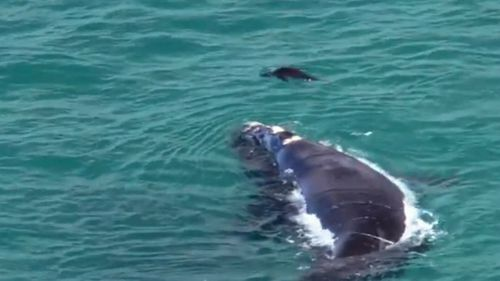 The whale and seal looked happy to be in each others company. Image: Supplied
