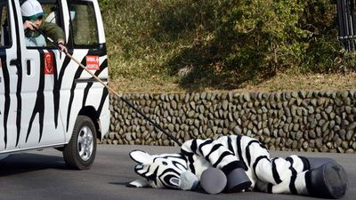 "A zookeeper checks a zebra after being ""tranquilised""."