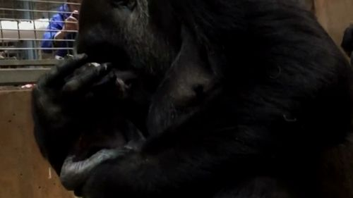 Moke is the first baby gorilla born at the zoo in nine years. (AP)