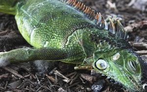 Cold-stunned iguanas fall from Florida trees