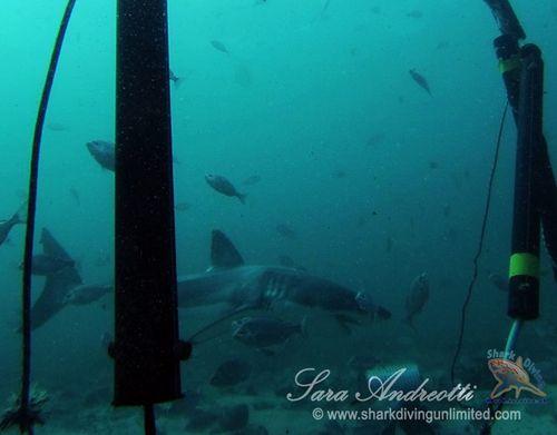 A curious great white shark swims near the Sharksafe Barrier  (Photo courtesy, Sara Andreotti / Sharksafe Barrier)