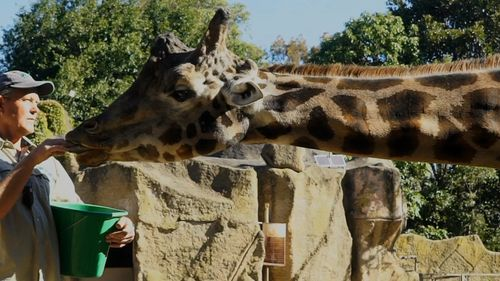 The giraffe had lived at Melbourne Zoo since December 23, 1996.