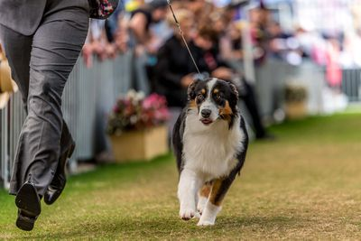 Best puppy in show: Australian shepherd