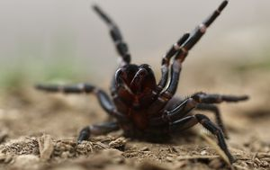 Deadly funnel web spider warning across parts of NSW