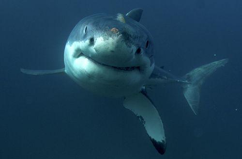 There could be as many as 2250 great whites off WA's coastline, compared to only 750 on the east coast. (AAP)