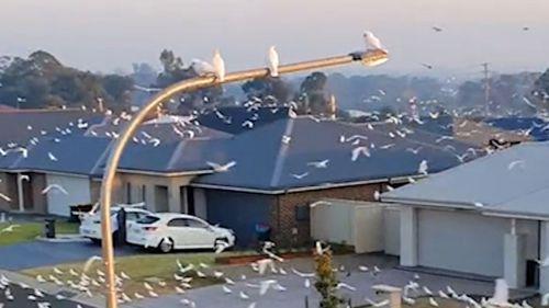 cockatoos nowra corellas
