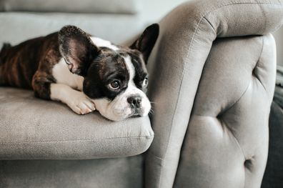 A french bulldog laying on the sofa.