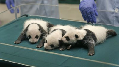 Panda triplets are relatively rare, with experts calling the survival of these cubs 'a miracle.' (AP Photo/Kin Cheung)