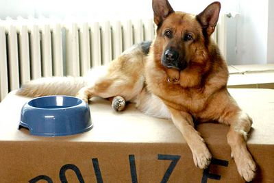 This dog's name is also in the title of his show. Hint: he's a German Shepherd, but he stars in a popular Austrian crime drama...