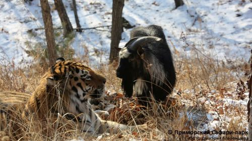 Brave goat and endangered captive tiger have become almost inseparable