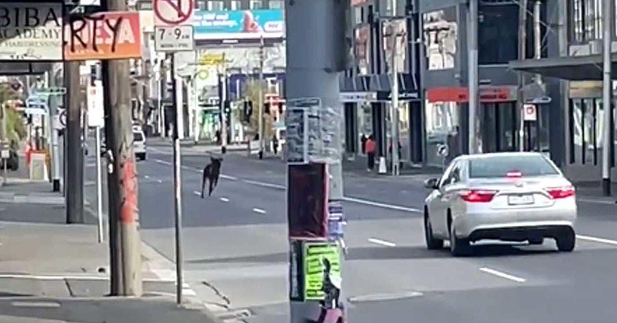 Rogue deer runs down empty Melbourne streets stunning locals – 9News