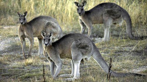 Gold Coast resort under fire for plan to slaughter 100 kangaroos