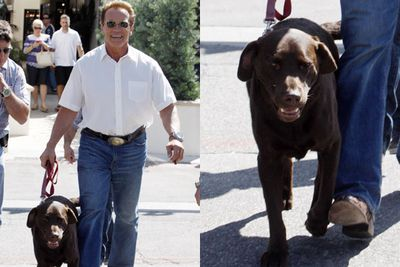 With Arnie losing his big guns to a flabby tum, it looks like he needs some extra security- doggie security, that is!