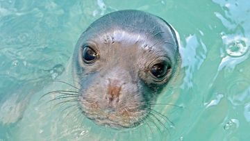 Kosti the seal is believed to have been killed with a spear gun.
