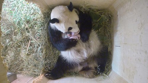 Vienna zoo hails rare birth of giant panda twins