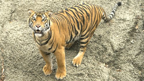 Poachers killing endangered tigers in record numbers in India