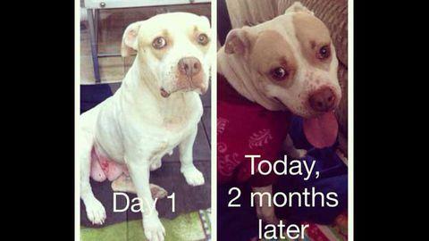 Rescued pitbull Mama Jade