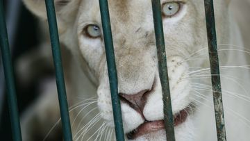 A Pakistani zoo staffer was mauled while feeding a white lion earlier this week.