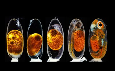 Embryonic development of a clownfish (Amphiprion percula)