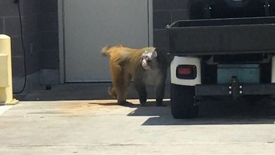 Baboon on the loose at US airport