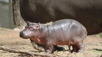 He might be grey and slimy – but Taronga Western Plains Zoo's new hippo calf is still one big, bundle of adorable joy.