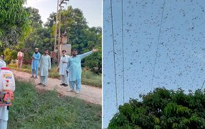 Locust invasion wreaks havoc on Pakistan's crops and orchards