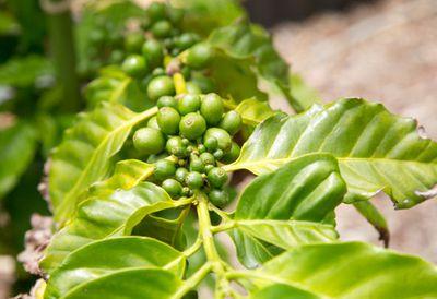 10. Green coffee bean extract